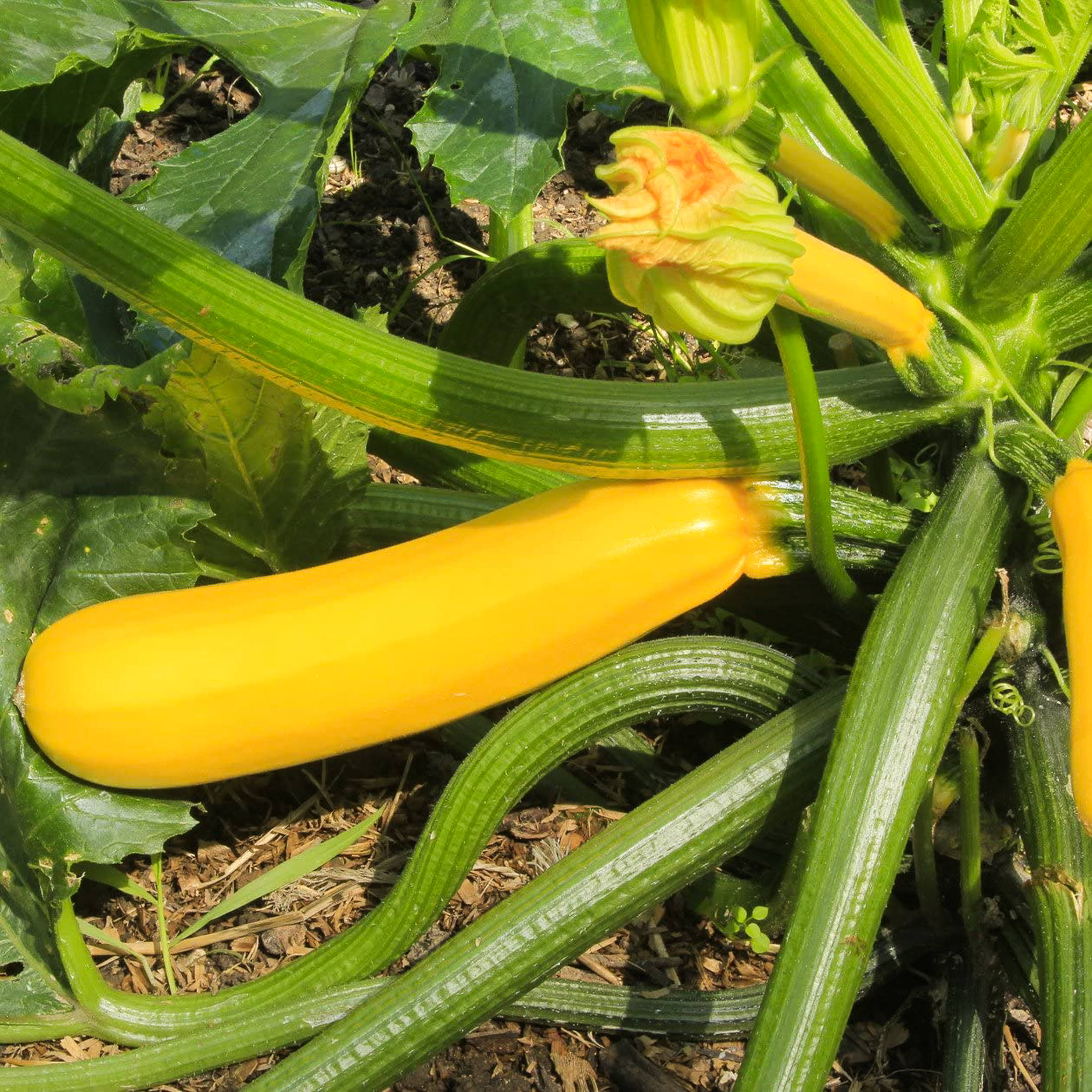 courgette-GOLD-RUSH.jpg